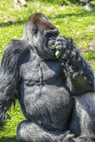 Silver back Gorilla. A Silver back Gorilla sitting on grass eating vegtables Stock Photography