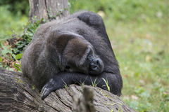 Silver back Gorilla. A Silver back Gorilla sleeping on a tree log Royalty Free Stock Photo