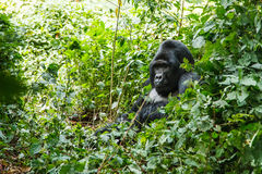 Silver back gorilla. In wild on Uganda Royalty Free Stock Photos