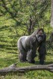 Silver back Gorilla Stock Photo