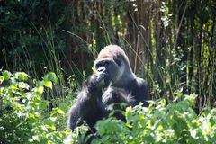 Silver back Gorilla. Young African Silver back Gorilla Stock Photo