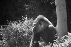 Silver back Gorilla Royalty Free Stock Image