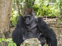 Free Silver-back Western Lowland Gorilla Stock Photos - 31297573