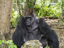 Silver-back Western Lowland Gorilla. The western lowland gorilla (Gorilla gorilla gorilla) is a subspecies of the western gorilla (Gorilla gorilla) that lives in Stock Photos