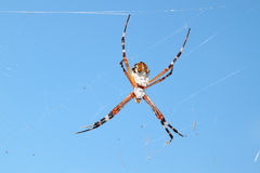 Silver-backed argiope (Argiope florida) Stock Image