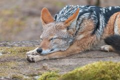 Sleeping black-backed jackal with blurred background. Silver-backed Jackal Canis mesomelas lying with elongated paws royalty free stock image