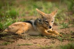 Silver-backed jackal lying in patch of grass Stock Photos