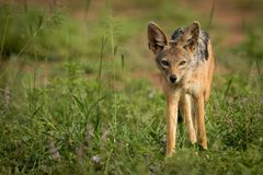 Silver-backed jackal standing in patch of grass Royalty Free Stock Images