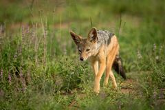 Silver-backed jackal walks towards camera through grass Stock Photos