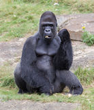 Silver backed male Gorilla Stock Images