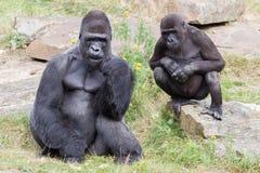 Silver backed male Gorilla Stock Photos