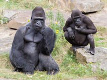 Silver backed male Gorilla Stock Image