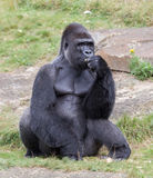 Silver backed male Gorilla Royalty Free Stock Images