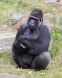 Silver backed male Gorilla Royalty Free Stock Photos