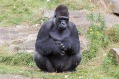 Silver backed male Gorilla Stock Photo