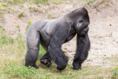 Silver backed male Gorilla Royalty Free Stock Photo
