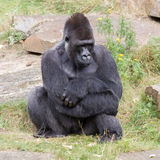 Silver backed male Gorilla Stock Photography