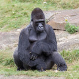 Silver backed male Gorilla Royalty Free Stock Image