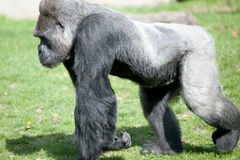 Silver backed Male Gorilla. Male silverback gorilla at the zoo Royalty Free Stock Photo