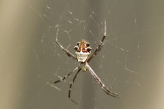 Silver Backed Spider Royalty Free Stock Images