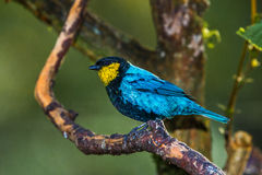 Silver Backed Tanager. Adult Male Silver-Backed Tanager Perched On Tree Branch At Inkaterra Pueblo Hotel in Aguas Calientas, Peru Royalty Free Stock Photography