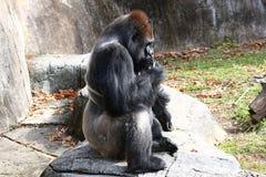 Silver-baksida för vuxen man gorilla Fotografering för Bildbyråer
