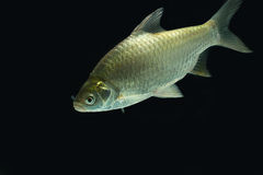 Silver barb on the dark Royalty Free Stock Images