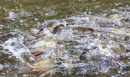 Silver barb fish bustle eat feed Royalty Free Stock Photo
