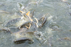 Silver barb fish eating bread Stock Image