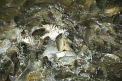 Silver Barb fish. Royalty Free Stock Images