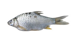Silver barb fish. Isolate on with background royalty free stock photography