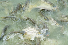 Silver barb in fish pond Royalty Free Stock Image