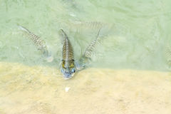 Silver barb in fish pond Royalty Free Stock Images