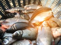 Silver barb fish. In plastic basket Royalty Free Stock Photos