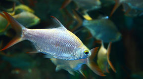 Silver barb fish Royalty Free Stock Photography
