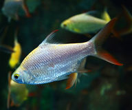 Silver barb fish Royalty Free Stock Images