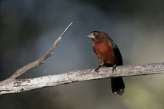 Silver-beaked tanager, Ramphocelus carbo Royalty Free Stock Image