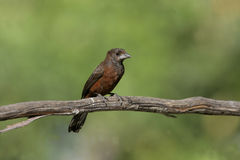 Silver-beaked tanager, Ramphocelus carbo Royalty Free Stock Photos