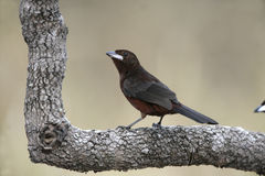 Silver-beaked tanager, Ramphocelus carbo Stock Images