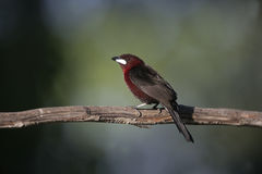 Silver-beaked tanager, Ramphocelus carbo Royalty Free Stock Photo