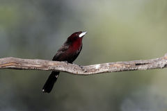 Silver-beaked tanager, Ramphocelus carbo Stock Photos