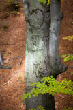 Silver-beech tree Royalty Free Stock Photos