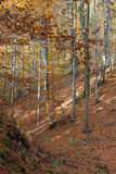 Silver-beech tree Royalty Free Stock Image