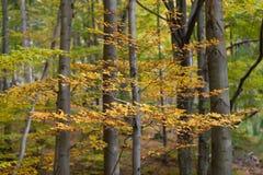 Silver-beech tree Royalty Free Stock Photo