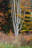 Silver-beech tree trunks Royalty Free Stock Photography