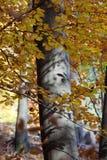 Silver-beech tree trunks Stock Photography