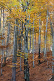 Silver-beech tree trunks Royalty Free Stock Photos