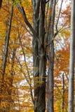 Silver-beech tree trunks Stock Photos