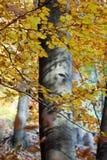 Silver-beech tree Stock Photography