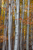 Silver-beech tree Stock Images